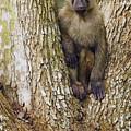 Olive Baboon Juvenile Kibale Np Uganda by Sebastian Kennerknecht