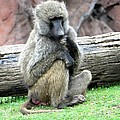 Olive Baboon by Michael Caron