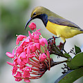 Olive-backed Sunbird Male With Flower by Hal Beral