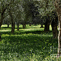 Olive Grove Color Italy by Mike Nellums