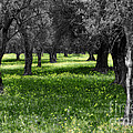 Olive Grove Italy Cbw by Mike Nellums