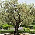 Olive Tree by Pema Hou