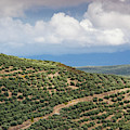 Olive Trees In A Field, Ubeda, Jaen by Panoramic Images