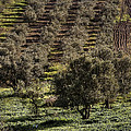Olive Trees by Isaac Silman