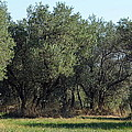 Olive Trees Of Provence by Carla Parris