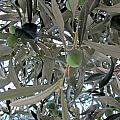 Olives Of The Mediterrenean by Tina M Wenger