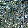 Olives by Tina M Wenger