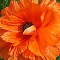 Olympia Orange Poppy by Christiane Schulze Art And Photography