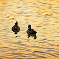 On Golden Pond Ducks by Angela Stanton