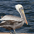 On The Edge - Brown Pelican by Kim Hojnacki