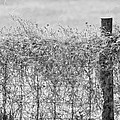 On The Fence Bw by Carolyn Marshall