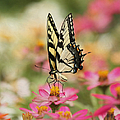 On The Top - Swallowtail Butterfly by Kim Hojnacki