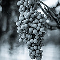 On The Vine  Bw by David Morefield