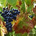 On The Vine by Jacklyn Duryea Fraizer