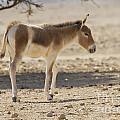 Onager Equus Hemionus by Eyal Bartov