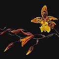 Oncidium Orchid by Dave Mills