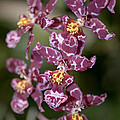 Oncidium by Terri Winkler