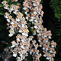 Oncidium Twinkle Fragrance Fantasy by Terri Winkler