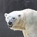 One Angry Polar Bear by John Telfer