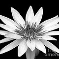 One Black And White Water Lily by Sabrina L Ryan
