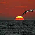 One Black Skimmers At Sunset by Tom Janca
