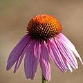 One Coneflower by Maria Urso