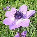 One Delicate Pale Lilac Anemone Coronaria Wild Flower by Taiche Acrylic Art