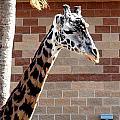 One Giraffe by Matt Johnson
