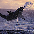 One Great White Shark Jumping Out Of Ocean In An Attack At Dusk by Brandon Cole