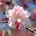 One Pink Blossom by Carol Groenen