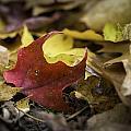 One Red Leaf by Sara Hudock