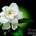 One Sensual White Flower by Carol F Austin