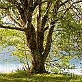 One Spring Tree by Carol Groenen