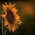 One Sunflower by Lin Hai