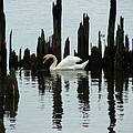 One Swan by Dennis Pintoski