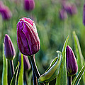 One Tulip Among Many by Mary Jo Allen
