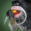 One Very Hungy Emperor Tamarin Monkey by Jim Fitzpatrick
