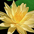 One Water Lily  by Ed  Riche