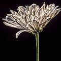 One White Flower by Martin Belan