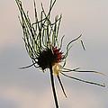 Onion Bloom by Sherri Quick