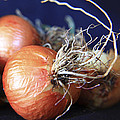 Onion Roots by David Kehrli