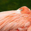 Flamingo With An Open Eye by David Perry Lawrence