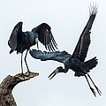 Openbill Storks Flying, Tarangire by Panoramic Images
