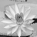 Opened Water Lily In Black And White #12 by Sabrina L Ryan