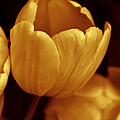Opening Tulip Flower Golden Monochrome by Jennie Marie Schell