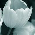 Opening Tulip Flower Teal Monochrome by Jennie Marie Schell