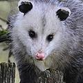 Opossum by Angie Vogel