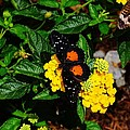 Orange And Black Butterfly by Scenic Sights By Tara
