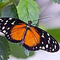 Orange And Black Butterfly by Vanessa Valdes