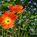 Orange And Blue - Beautiful Spring Orange Poppy Flowers In Bloom. by Jamie Pham